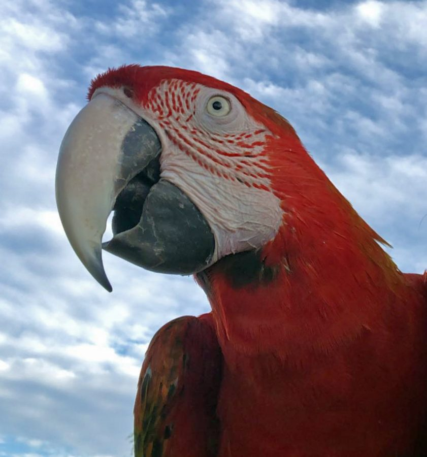 Flame macaws live to be 50-60 years old on average.